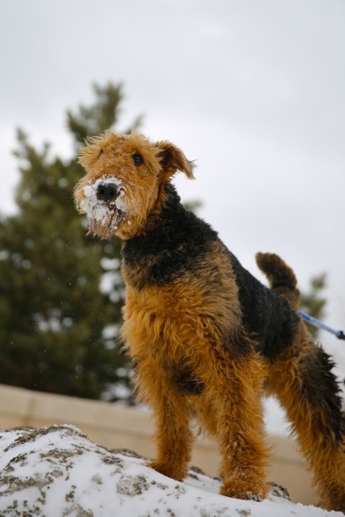 Arya the Airedale out and about on the first day of Spring