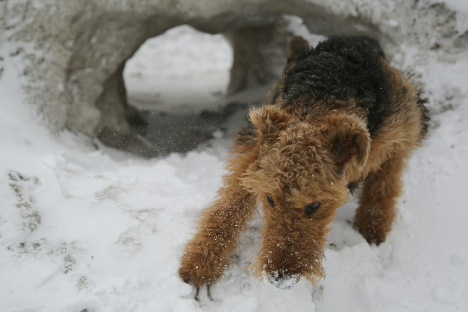 Arya the Airedale in and around a quinzee