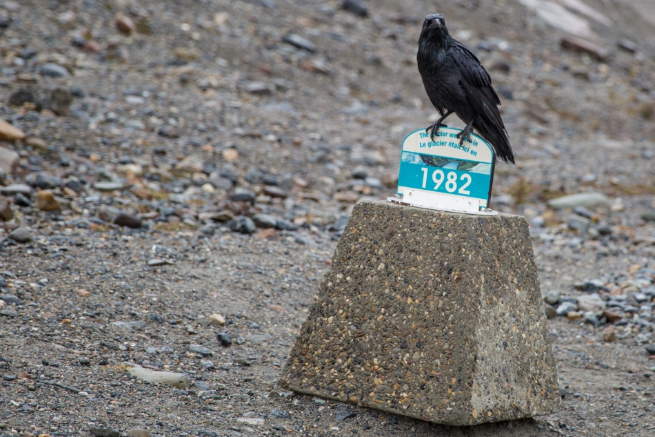 A raven rests on the growing moraine in front of the Athabasca Glacier, Jasper National Park, Alberta © J. Ashley Nixon