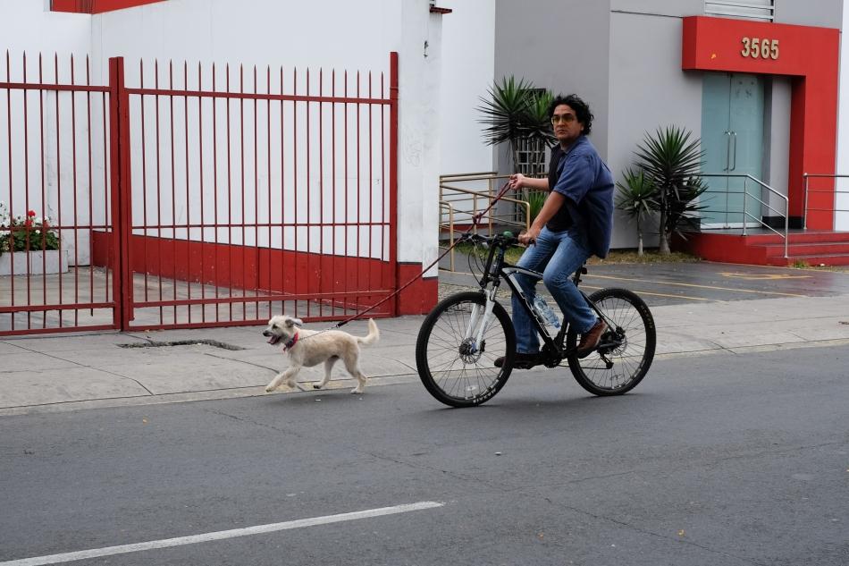 Dog biking along Avenida Arequipa, Lima, Peru. © J. Ashley Nixon