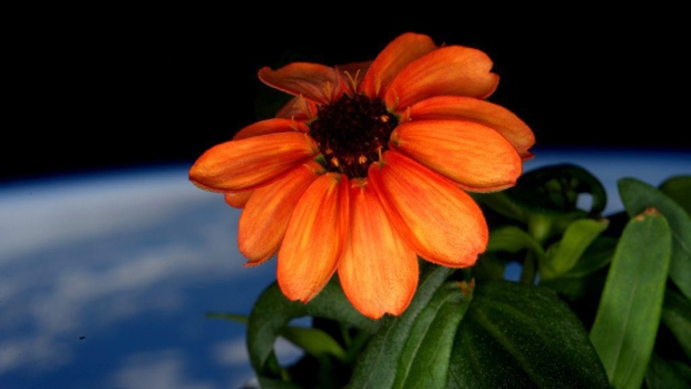 Zinnia in Space. Photo credit: Scott Kelly, NASA