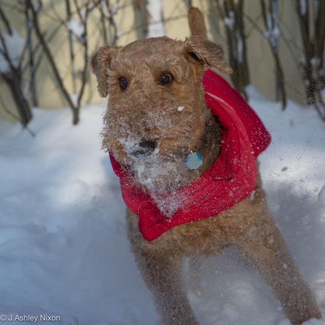 Arya the Airedale plays out in her new red coat. © J. Ashley Nixon