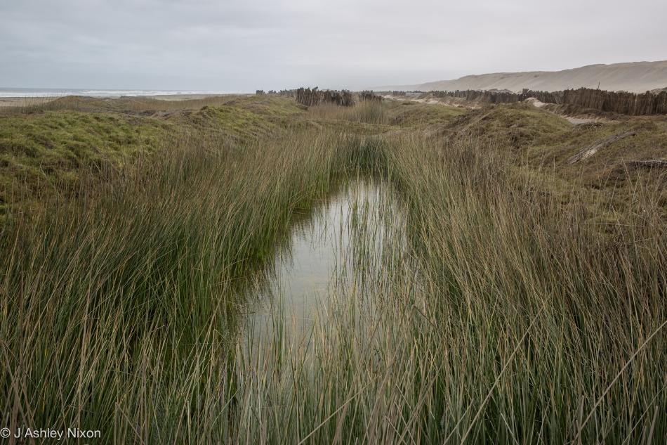 Totora reeds (Schoenoplectus californicus) cultivated in coastal wetlands near Huanchaco, Peru. © J. Ashley Nixon