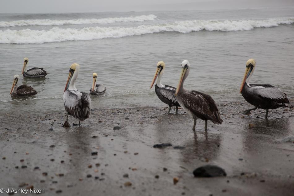 Un grupo de pelícanos esperando los pescadores de Huanchaco, Peru. © J. Ashley Nixon